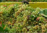 La producción de vino y mosto de la cosecha 2016 – 2017 se sitúa en 42,5 millones de hectolitros