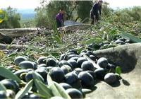 El dato de producción de aceite de oliva del mes de enero muestra el retraso de esta campaña