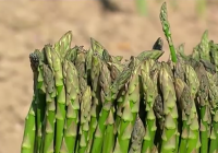 El espárrago verde, cultivo en auge en muchos municipios de Andalucía