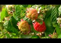 VÍDEO: Frutos Rojos en Cuna de Platero