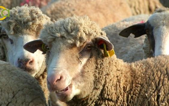 La Junta autoriza el pago de 14,1 millones en ayudas asociadas a 5.500 ganaderos de ovino y caprino
