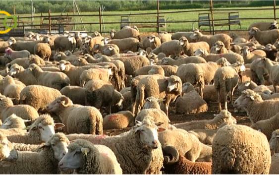 El 25% de las explotaciones españolas de ovino de leche podría cerrar en 2018