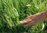 La falta de lluvias encarece el precio del trigo nacional