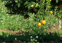 La campaña de la naranja en Córdoba se encuentra al 85% con una producción estimada de unas 180.000 toneladas
