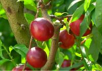 VÍDEO: Fruta de hueso en Lora del Río