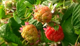 """Cuna de Platero difunde las propiedades saludables de sus berries en las I Jornadas de Salud """"Acercándonos"""""""