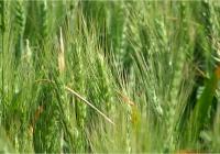 Arranca una campaña de cereales marcada por la sequía