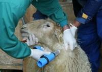 La Consejería de Agricultura distribuye 7,6 millones de dosis de vacunas para proteger al ganado frente a la lengua azul
