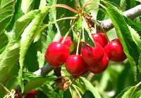 VÍDEO: Recolección de cerezas en Jaén