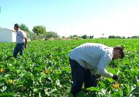 VÍDEO: Cebolla y calabacín en El Villar, Córdoba