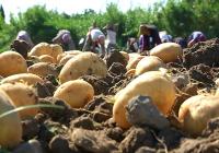VÍDEO: Campaña de la patata en San José de la Rinconada