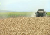 VÍDEO: Recolección de trigo en Marchena