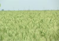 Arranca la cosecha del cereal marcada por la sequía con una producción desigual, pero de calidad