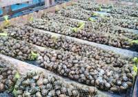 La Consejería de Agricultura regula las condiciones sanitarias que deben cumplir las explotaciones de cría de caracoles