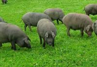 Guijuelo, Dehesa de Extremadura, Jabugo y Los Pedroches se alían para informar al consumidor