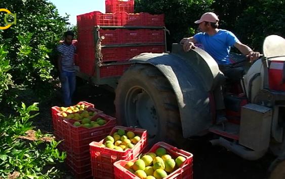 """UPA desenmascara la injusticia que sufren los cítricos: """"nos inundan de naranjas mientras las nuestras se quedan en el árbol"""""""
