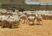 VÍDEO: La oveja segureña en Huéscar (Granada)