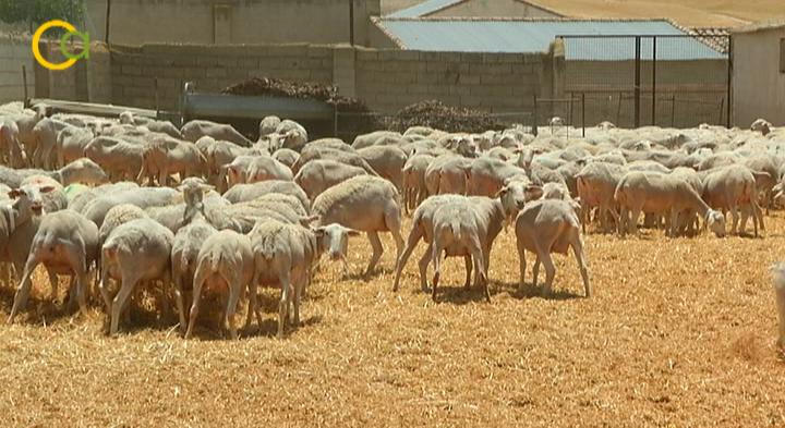 COAG Jaén pide la exención del pago del canon de montes públicos a los ganaderos por su crítica situación debido a la falta de mercado del cordero