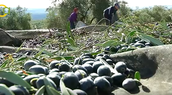 ASAJA, Comisiones Obreras y UGT de Jaén consideran que hay suficiente mano de obra para la recogida de aceituna