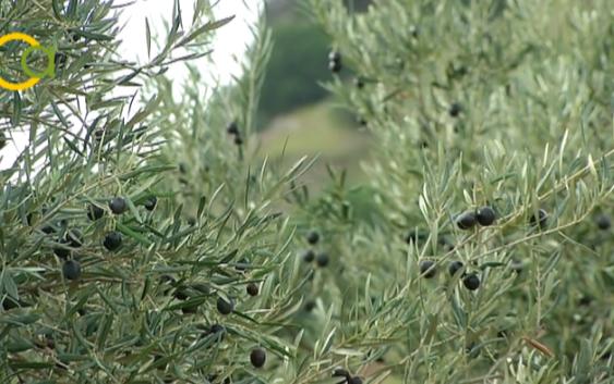 ASAJA-JAÉN indica que ha asegurado al 100% de los agricultores que contrataron los seguros paramétricos de olivar