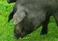 El valor de las exportaciones del sector porcino andaluz aumentó un 5% en el primer semestre de 2017