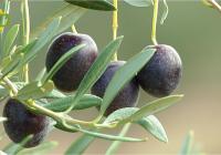 UPA Andalucía analiza la situación actual del sector olivarero