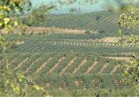 La superficie de olivar en Andalucía crece más de 80.000 hectáreas en una década y supera ya el millón y medio