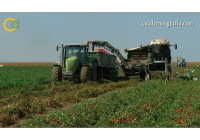 VÍDEO: Campaña del tomate de industria en Sevilla