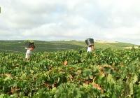 El clima merma sobre un 20% la producción de uva en España
