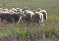 La Junta permitirá el pastoreo en superficie de barbecho de interés ecológico para el Pago Verde de la PAC en 2017