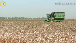 VÍDEO: Campaña de algodón en el Bajo Guadalquivir