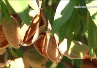 Comienza la recolección del almendro con un aumento de la producción en la provincia de Córdoba