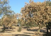 La Consejería de Agricultura trabaja en varios proyectos para la prevención de la seca del encinar en la dehesa andaluza