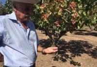 VÍDEO: Recolección del pistacho en Archidona