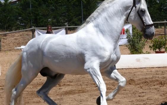 Andalucía lidera el censo nacional de caballos de pura raza española con casi 78.500 ejemplares, el 43% del total