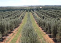El próximo 27 de octubre se celebrará una jornada técnica sobre el olivar en seto en Fimart 2017