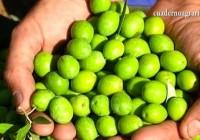 VÍDEO: Comienza la campaña del verdeo  en Andalucía