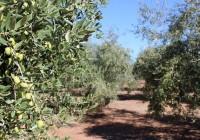 Agricultura aportará al Parque del Olivar de La Roda todas las variedades de olivo que están presentes en Andalucía
