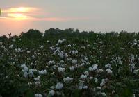 La cosecha de algodón en Córdoba alcanza una media de 3.000 kilos por hectárea con una calidad excepcional