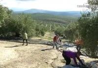 VÍDEO: Comienzo de la campaña de aceite de oliva en Andalucía
