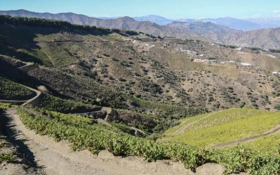 Uva pasa de moscatel de la Comarca de la Axarquía, reconocida como Sistemas Importantes del Patrimonio Agrícola Mundial