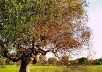 UPA exige un plan ambicioso y global para frenar la Xylella fastidiosa