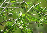 Desciende la superficie de cereal un 8% por las plantaciones de olivos y almendros
