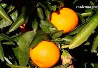 VÍDEO: Campaña de naranjas en la Vega del Guadalquivir