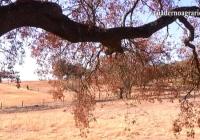 VÍDEO: La seca de la encina amenaza a la dehesa