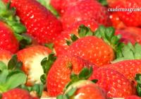 VÍDEO: Recoleccíón de fresas extratempranas en Moguer