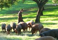 VÍDEO: Montanera en la Sierra de Sevilla