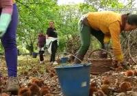 VÍDEO: Finaliza la campaña de la castaña en Andalucía