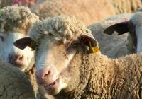La Junta destina cerca de 225.000 euros al fomento de razas autóctonas y al control del rendimiento lechero en Andalucía