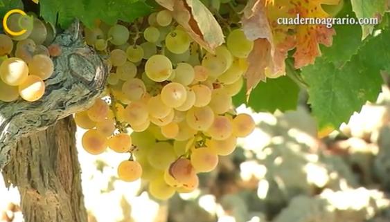 El sector vinícola andaluz recibirá ayudas por valor de 1,6 millones de euros con cargo al nuevo marco 2019-2023